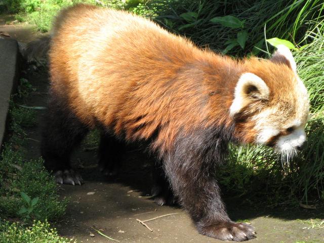 レッサーパンダの画像 p1_16