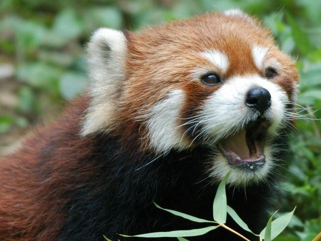 レッサーパンダの画像 p1_24