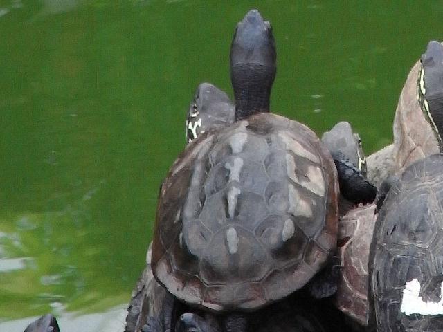 クサガメの画像 p1_30