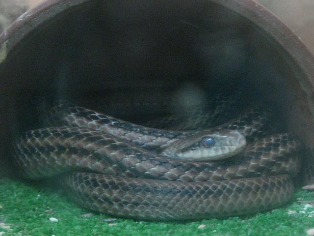 シマヘビの画像 p1_25