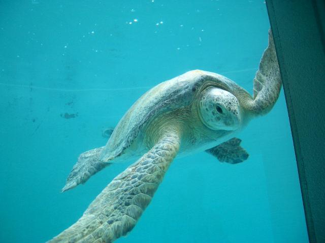 アオウミガメの画像 p1_24