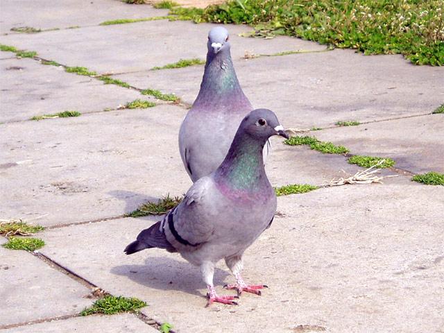 ドバト 身近な野鳥図鑑:ドバト(1) そらいろネット > 身近な野鳥図鑑 &