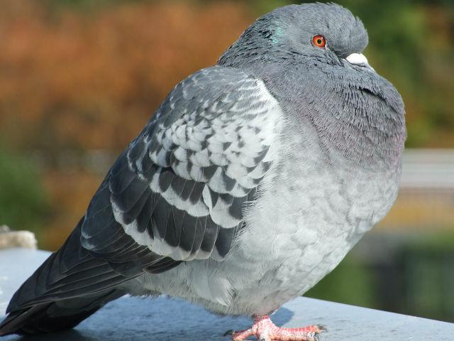 身近な野鳥図鑑:ドバト(11)