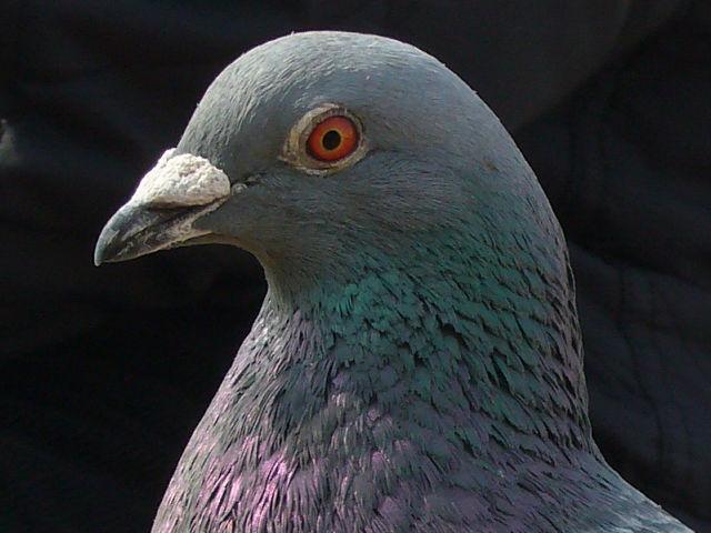 身近な野鳥図鑑:ドバト(8)