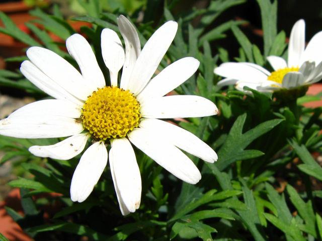 マーガレット (植物)の画像 p1_30