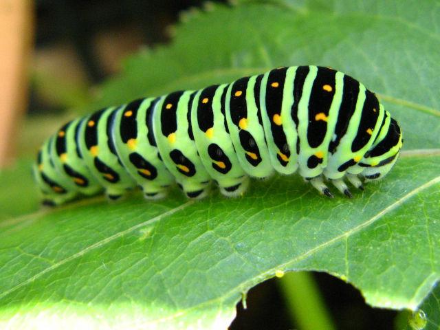 「キアゲハ 幼虫」の画像検索結果