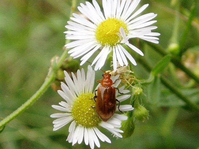 身近な昆虫図鑑:ウリハムシの ...