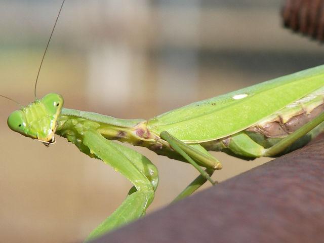 ハラビロカマキリの成虫