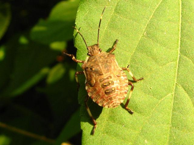 クサギカメムシの幼虫