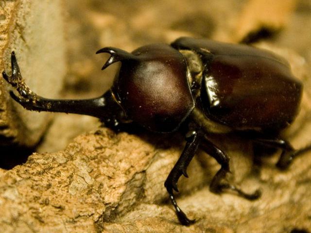 カブトムシの画像 p1_5