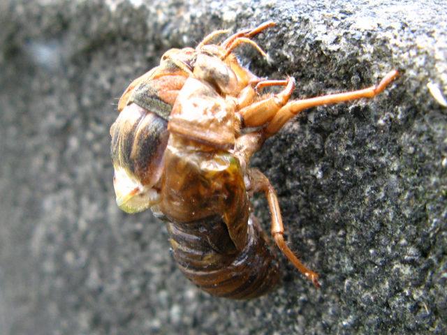 身近な昆虫図鑑:ヒグラシの羽化