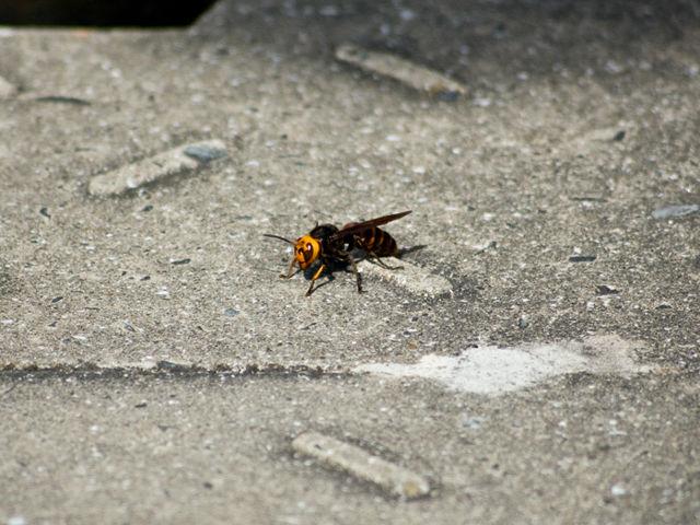 オオスズメバチ [和名・種類]  身近な昆虫図鑑:オオスズメバチの成虫