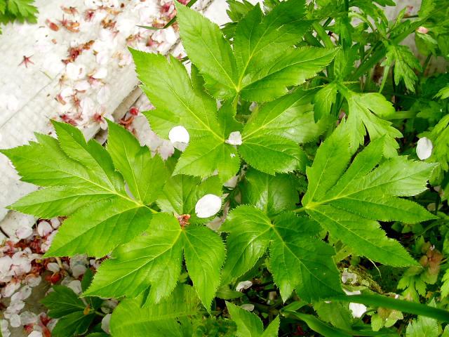 身近な植物図鑑:アシタバ(2)