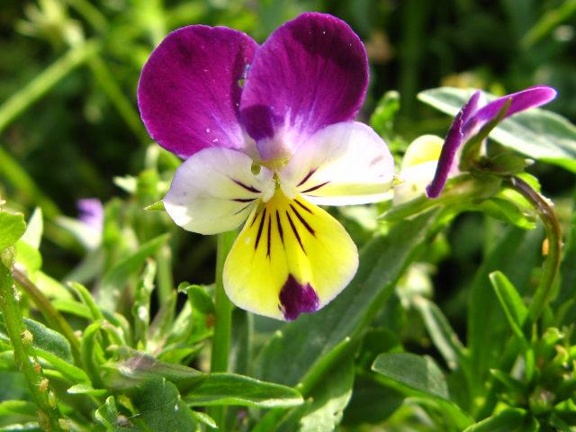 ビオラ (植物)の画像 p1_19
