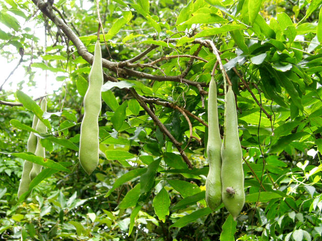 フジ (植物)の画像 p1_28