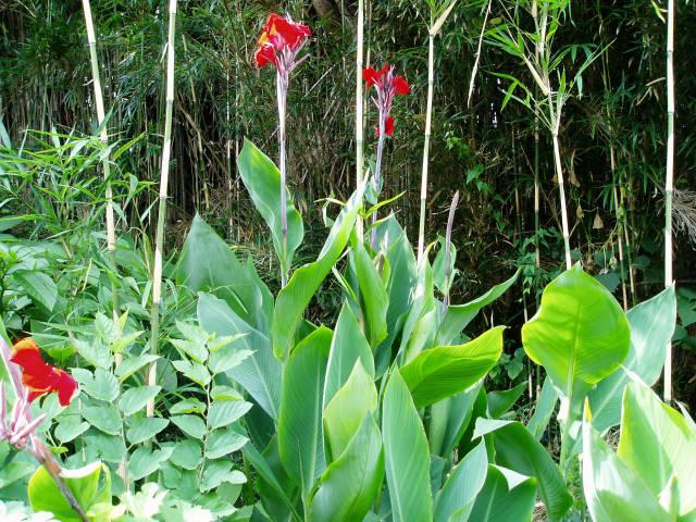 カンナ (植物)の画像 p1_16