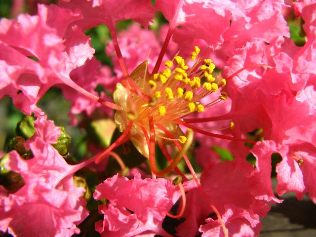 サルスベリの雄しべ [和名・種類] サルスベリ  身近な植物図鑑:サルスベリの雄しべ