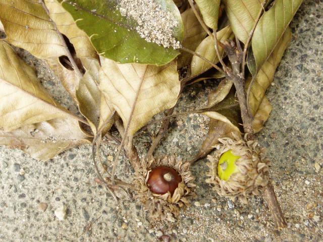 クヌギ [和名・種類] クヌギ クヌギの果実