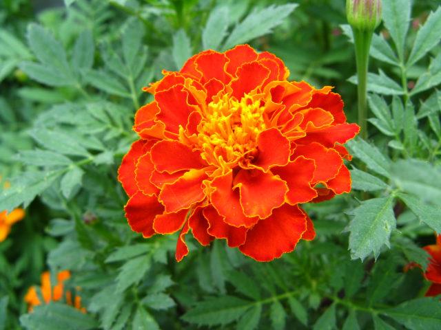 マリーゴールドの花